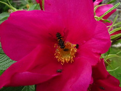 In The Pink (alexinatempa) Tags: pink flower macro nature wales insect brecon