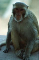 Taj Mahal Agra Uttar Pradesh India Feb 1990 078 Monkey (photographer695) Tags: taj mahal agra uttar pradesh india feb 1990