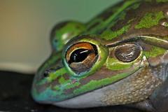 Anglų lietuvių žodynas. Žodis wood frog reiškia medienos varlė lietuviškai.