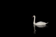 Black swan (murphyz) Tags: black reflection bird water animal swan space negative abyss