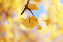 in the light yellow (orukooo) Tags: autumn nature yellow 30mm 60d