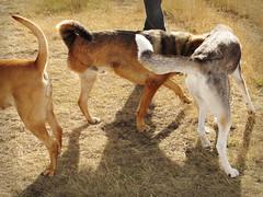 Five Hind Legs (DGC Photography.ca) Tags: canada calgary dogs tripod dogpark edworthypark threeleggeddog rescuedogs thelittledoglaughed dougcallow