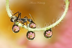 Antics (aroon_kalandy) Tags: light india macro beauty creativity lights drops artistic sony ant kerala refraction greatshot antics concept lovely tamron calicut kozhikode aroonkalandy