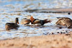 Mandarynka (wezu (Pawe Wyk)) Tags: bird birds aixgalericulata ptak ptaki kaczka mandarynka