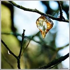 Sve de cerisier  (Gommose) (Crist56) Tags: nature arbres gommose languidic slta77vq sonyslta77vq crist56 vision:outdoor=0539
