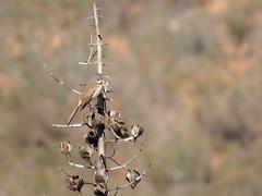 Bell's Sparrow_01_26_14_Ramona CA 106 (Ryan Rubino) Tags: ca usa bells sparrow ramona belli artemisiospiza