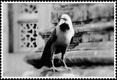 04W2014 Le corbeau indien