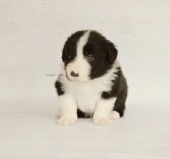 Boy 3 (Chantille Clicks) Tags: dog pet animal puppy puppies collie bordercollie blacknwhite canon550d