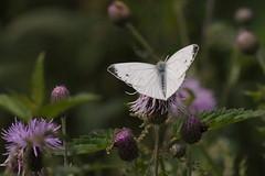 DSC_8807 klein geaderd witje
