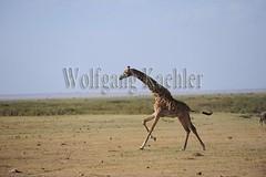 10070819 (wolfgangkaehler) Tags: africa kenya african wildlife running giraffe amboseli kenyan eastafrica galloping eastafrican giraffacamelopardalistippelskirchi masaigiraffe amboselinationalpark amboselikenya amboselinatlparkkenya