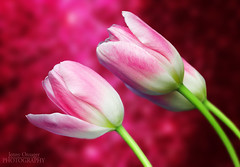 Pink and White Tulips (Jenny Onsager) Tags: flowers canon spring tulips springflowers whitetulips pinktulips pinkandwhitetulips mygearandme mygearandmepremium mygearandmebronze jennyonsager