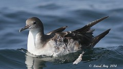 1.01723 Puffin fouquet / Puffinus pacificus / Wedge-tailed Shearwater (Laval Roy off until 07/08/2019) Tags: birds canon aves mexique oiseaux envol wedgetailedshearwater puffinuspacificus procellariiformes eos7d puffinfouquet ardennapacifica procellariidés ef300mm14lisextender14xiii lavalroy