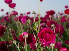 red (inkista) Tags: ranunculus flowerfields hss fl50 ttlcable mzuiko45mmf18