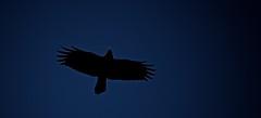 Cool Crow (imageClear) Tags: blue sky black bird nature wisconsin fly flying cool wings nikon flickr graphic wildlife flight birdsinflight crow sheboygan wingspan overhead photostream bif naturephotography birdphotography wildlifephotography d7000 coolcrow imageclear 80400mmafs