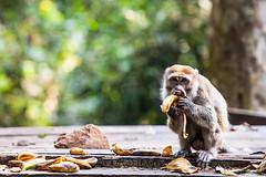 Crab-Eating Macaque 4603 (Ursula in Aus (Resting - Away)) Tags: animal sumatra indonesia unesco bukitlawang longtailedmacaque crabeatingmacaque macacafascicularis gunungleusernationalpark earthasia