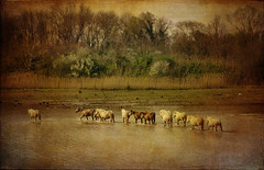IMG_4736 horses in the wilderness - ON EXPLORE # 132 (pinktigger) Tags: wild horses italy nature water landscape italia friuli isoladellacona