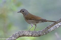 sabiá-barranco (eisenrupp) Tags: minas gerais birding aves da brazilian cerrado serra canastra merganser patomergulhão