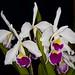 Lc. Canhamiana semi alba – Anita Spencer
