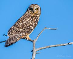 >.> (mLichy911) Tags: shorteared owl owls portrait perch detailed igotmyeyeonyou 7dmarkii canon 500f4 winter nature wild wildlife bird raptor pnw wa seattle