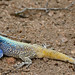 Southern Tree Agama (Acanthocercus atricollis) male