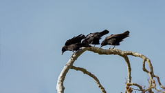 Ohhh !!! ... Three Brothers on a branch (Franck Zumella) Tags: carrion crow corneille branch branche tree arbre black bird noir oiseau brother 새