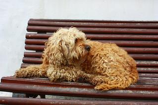 Ein süßer Hund mit Locken