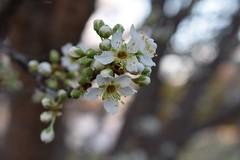 Plum Blossoms (sydneyoconnell) Tags: flower bokeh sunset tree plumblossoms blossom plum
