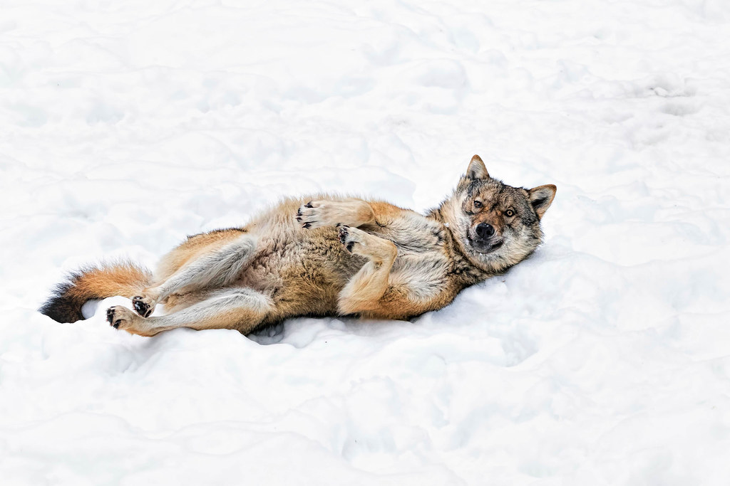 The World's Best Photos of predator and wolves - Flickr ...