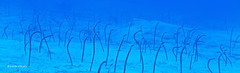 Garden eels (kyshokada) Tags: gardeneels roatan honduras caribbean reef marinelife canon powershot g1x markii underwater scuba diving animalplanet