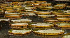 Ile Maurice 2016 - 02 --124 (bebopeloula) Tags: 2016 ilemaurice jardindepamplemousses mauritius nikond700 nénuphar plante nikonflickraward photo robert crosnier