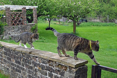 Dougal and Florence (Arkensiel Photographs) Tags: trees cats green grass wall garden florence tabby dougal