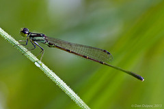 Fragile Forktail (danospv) Tags: morning macro nature grass closeup canon bug insect drops wings dragonfly dew perch damselfly forktail entomology odonata zygoptera ischnura