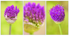 alliums (lilypops1) Tags: flower spring triptych purpleflower alium