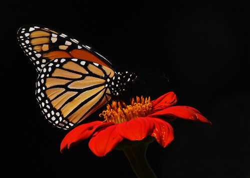 Monarch Butterfly...#20