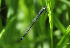 Leighton Moss RSPB (Man with Red Eyes) Tags: naturereserve damselfly d3 rspb leightonmoss bluetailed 70210f4d malebluetailed