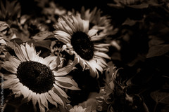 The One with the Sepia Sunflowers. (J*Phillips) Tags: flowers summer blackandwhite texture canon lasvegas lightroom 50d