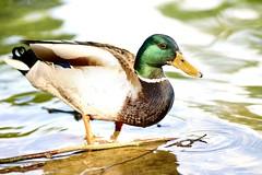 Duck (Vlachbild) Tags: bird animal duck minoltaaf100mmf2 sonyslta65