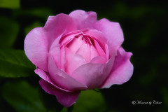 Perfect Rose (Canon Queen Rocks) Tags: pink flowers plants nature floral leaves rose petals mothernature