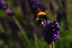 Fuzzy Buzzy (JennPorteous) Tags: summer nature insect lavender bee carderbee
