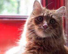 Clem Thursday: Boy Face (Photo Amy) Tags: red orange cute cat ginger kitten feline tabby longhair adorable precious cuddly cuteness tabbycat ef50mm18 longhairedcat canoneos50d