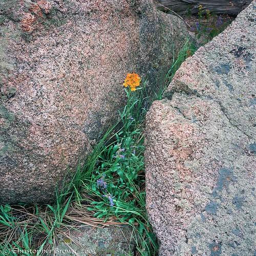 Photo - Western Wallflower tucked between two boulders.