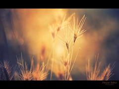 hiding your soul / lelkedhez bjva (heizer.ildi) Tags: light sunset summer nature field grass night flover mygearandme me2youphotographylevel1