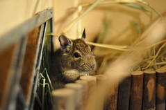 Leia with Oat and Timothy hay (AlpineDaisy) Tags: wood glass wooden natural stainedglass cage stained hay timothy diet degu oat degus octodondegus octodon