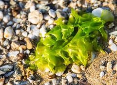 A bit of seaweed on Gyllyngvase Beach (SarahO44) Tags: ocean uk sea england seaweed beach boats bay sand cornwall unitedkingdom south united kingdom yachts falmouth gyllyngvase