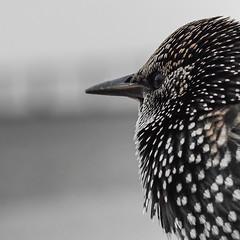 portrait bird closeup square dof starling crosby fragment selectivefocus sonyslta65v