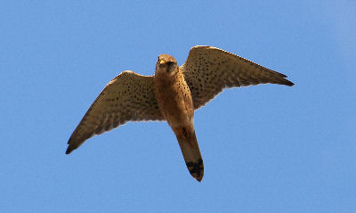 "Kestrel • <a style=""font-size:0.8em;"" href=""https://www.flickr.com/photos/30837261@N07/10722505424/"" target=""_blank"">View on Flickr</a>"