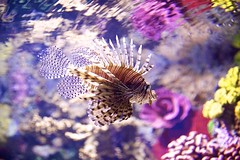 lion fish (conwest_john) Tags: lionfish bej specanimal theshootingstars sunrays5 ripleysaquariumtoronto