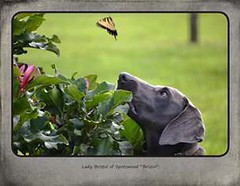 "FINAL Blue Weim 2014 calendar_Page_10 • <a style=""font-size:0.8em;"" href=""http://www.flickr.com/photos/109220014@N05/10955876643/"" target=""_blank"">View on Flickr</a>"