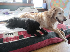 Cooper and Montague (Pictures by Ann) Tags: dog kitchen senior goldenretriever puppy happy bed mix relaxing cooper resting adoption montague gwp germanwirehairedpointer gwpmix