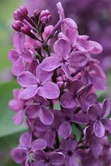 Red Giant (north_wildbird) Tags: lilac lilacs vulgaris syringa